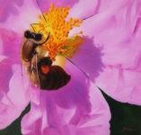 Schölnhammer Biene